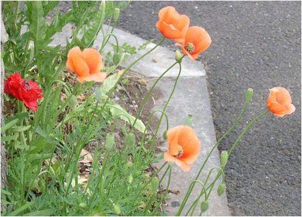 ポピー、またはヒナゲシの名で親しまれ愛されているこの花。 つぼみは恥じらうかのように下を向き,表面にはうっすらとうぶ毛のようなものがおおう。
